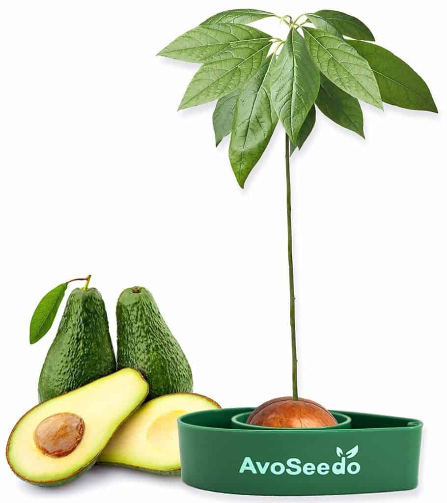 How to plant an avocado pit the right way 2
