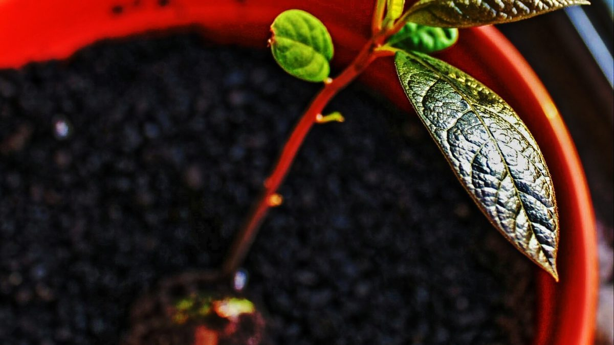How to plant an avocado pit the right way