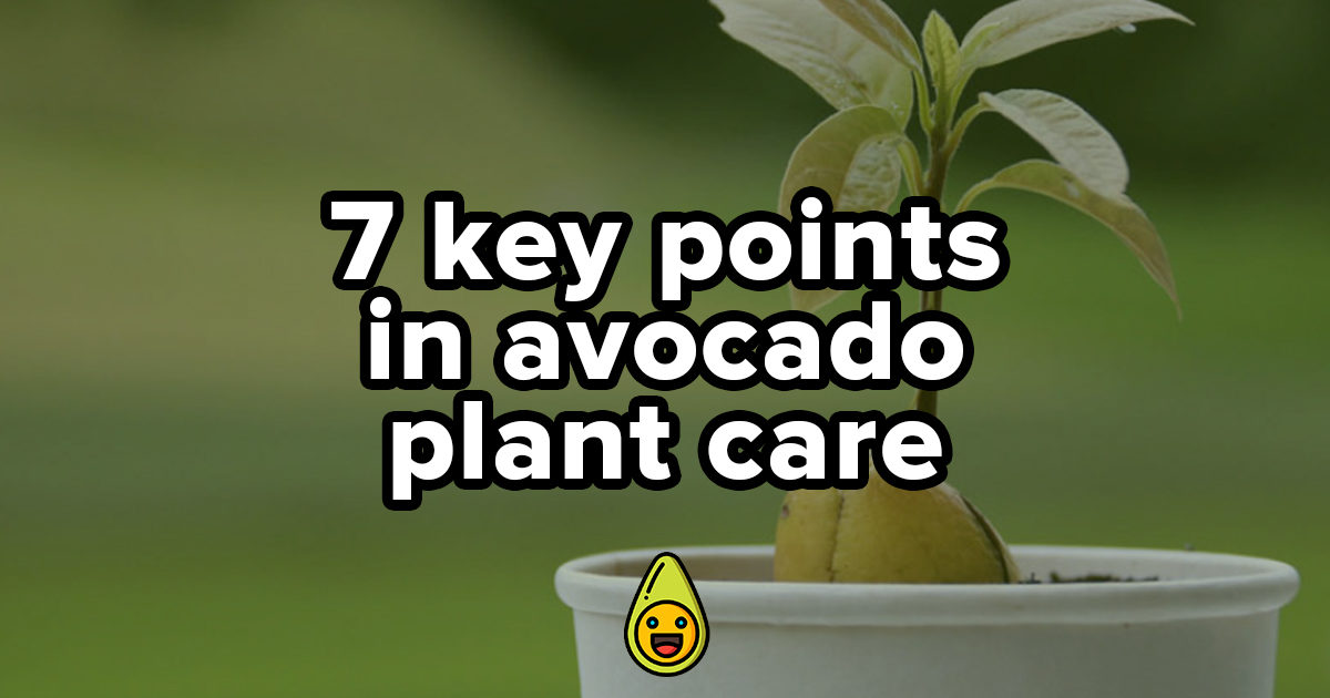 7 Key Points in Avocado Plant Care