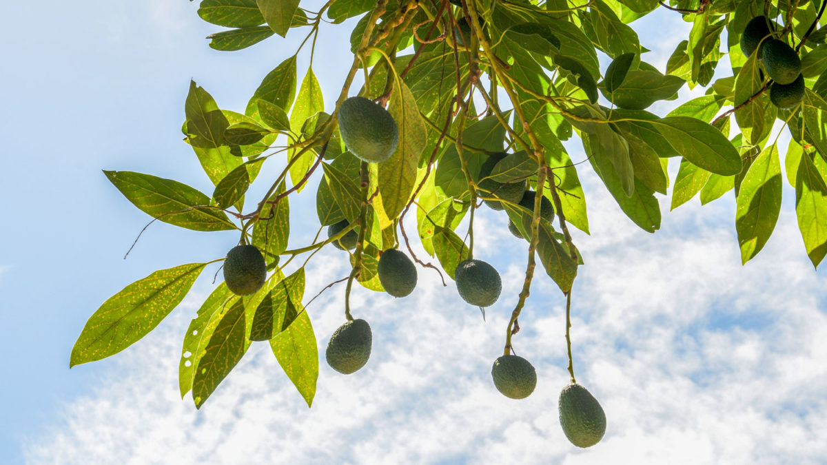 What is the recommended avocado tree height?