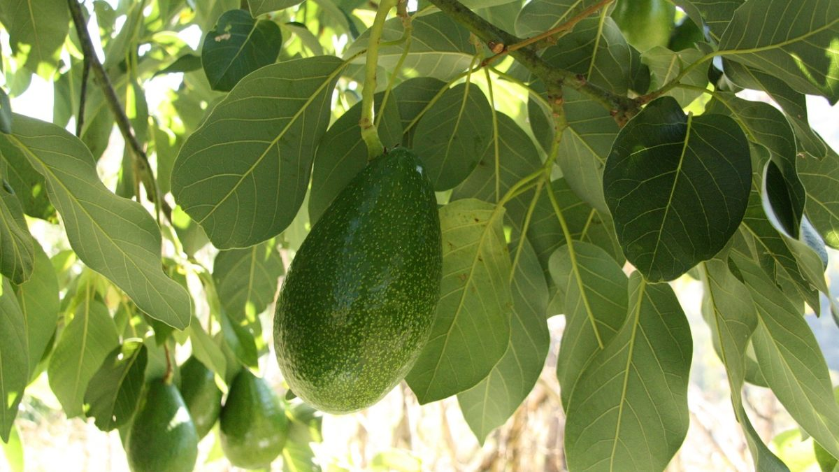 8 KEY POINTS – The Ultimate Guide to Growing Avocados in Florida