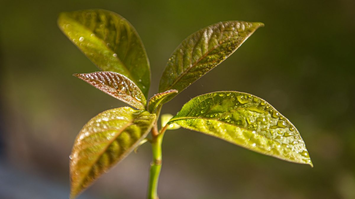 Avocado leaves turning brown? This is how to save them.