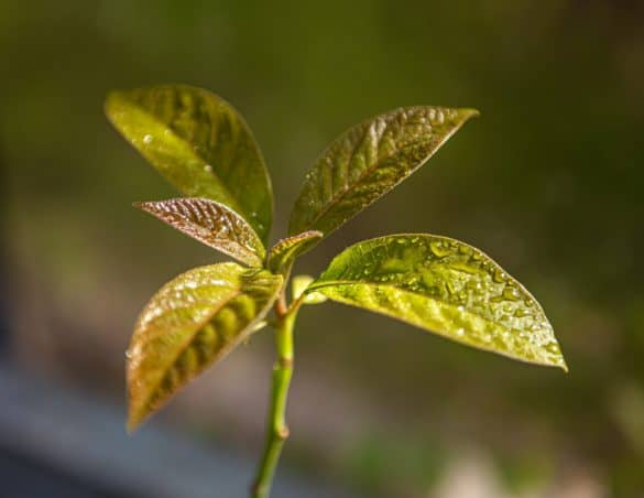 Avocado leaves turning brown? This is how to save them. 6