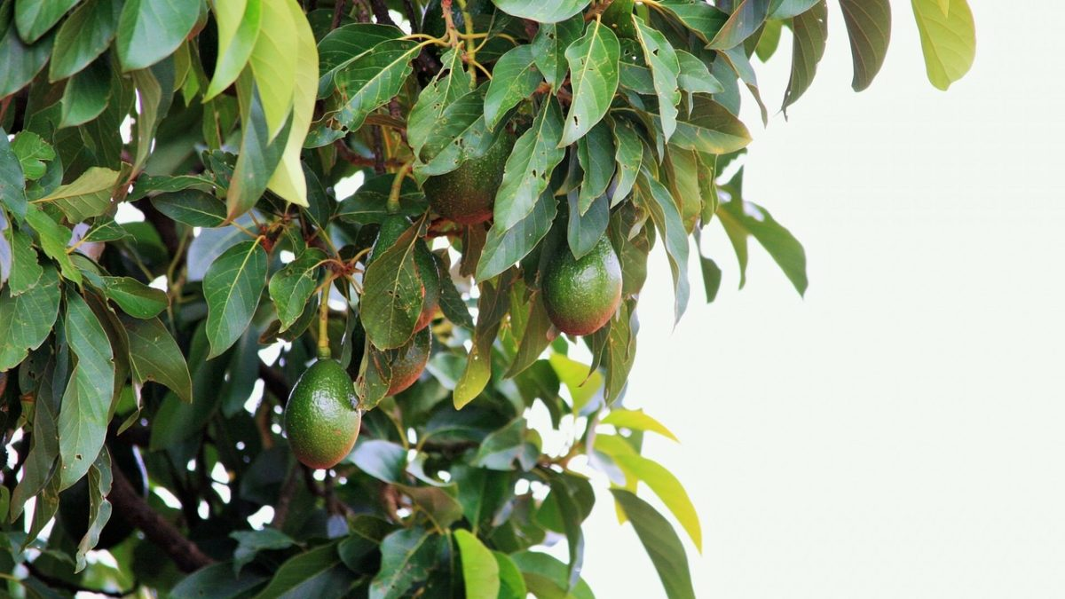 6 Tips on How to Prune an Avocado Tree