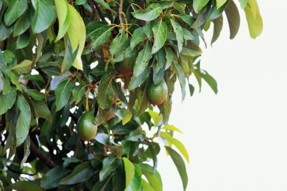 how to prune an avocado tree