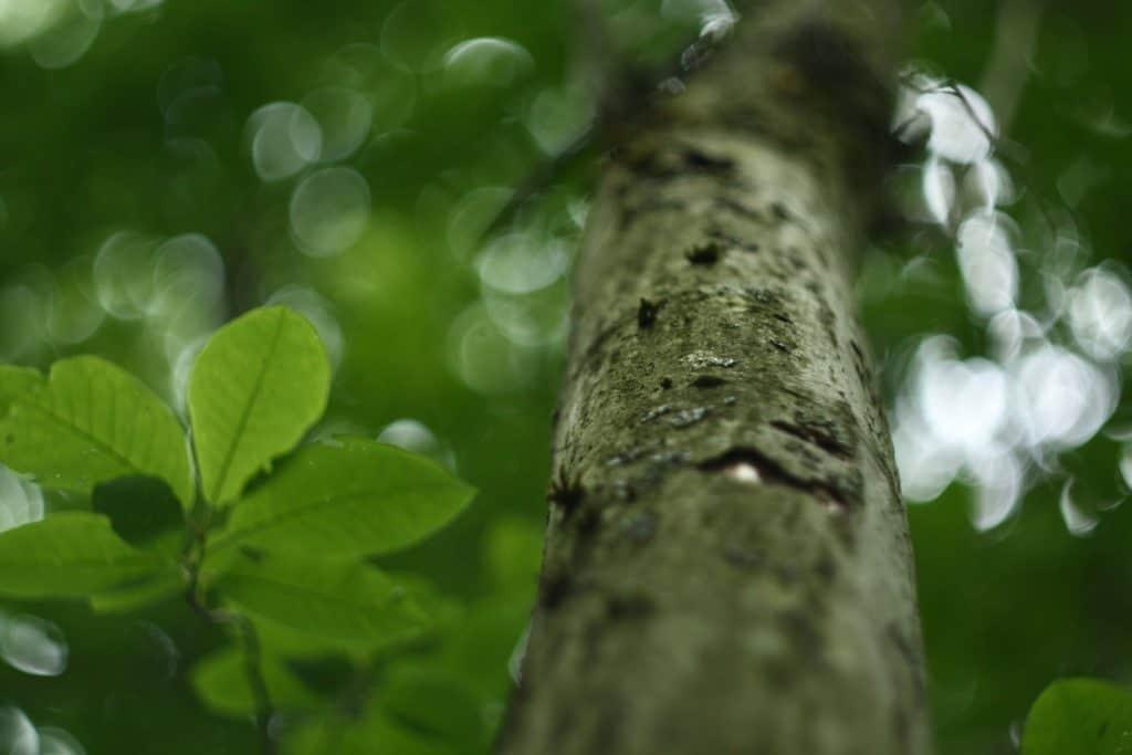 how to make avocado leaf tea - types of avocado leaves