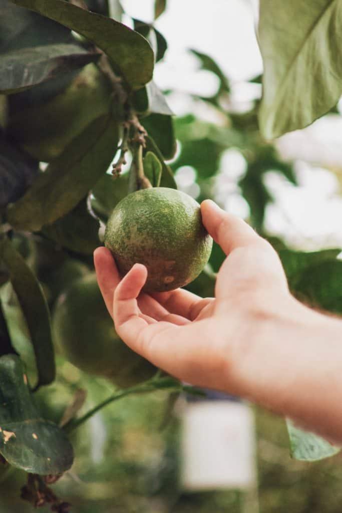 benefits of avocado leaves